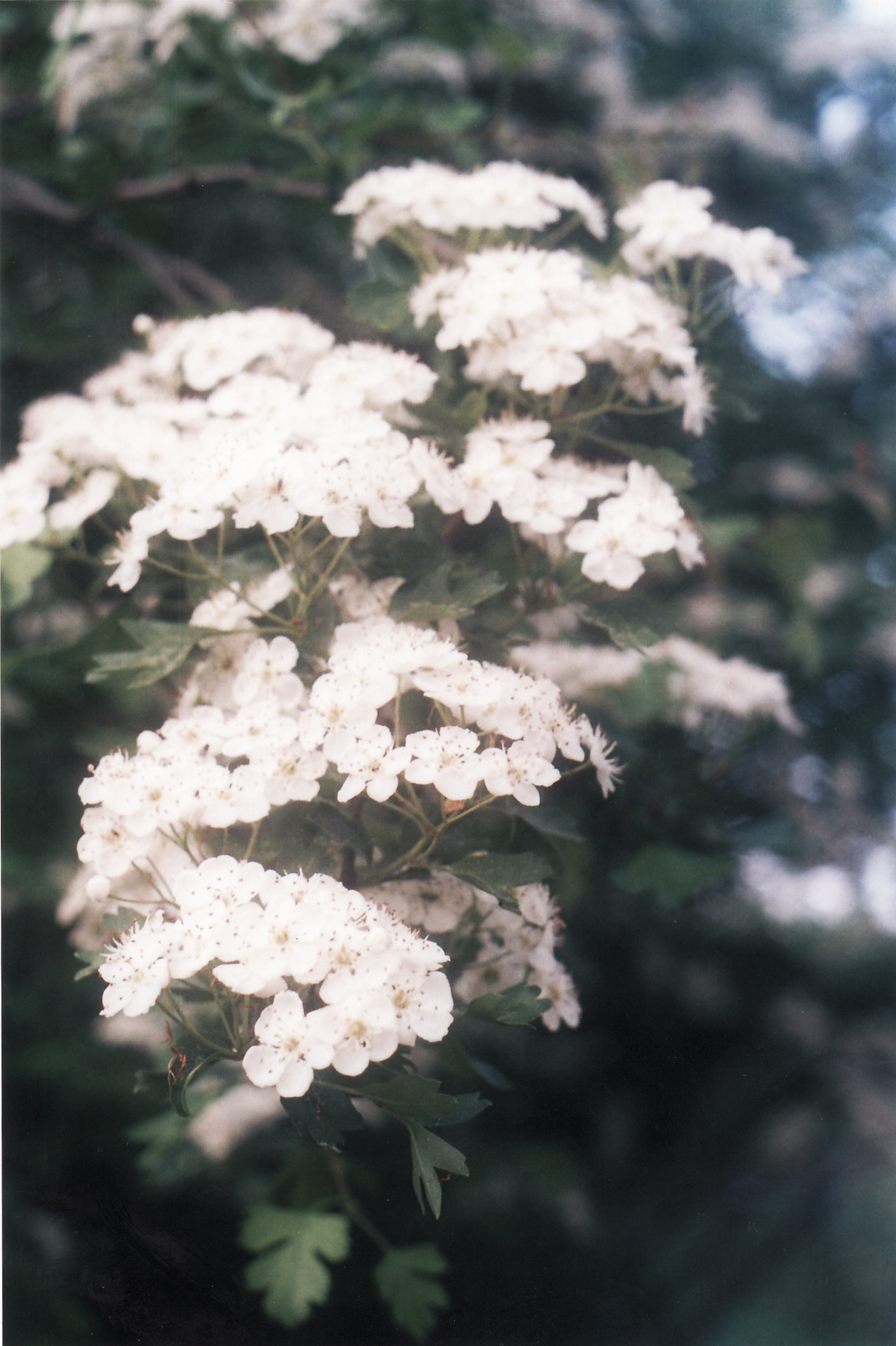 aubépine fleurs